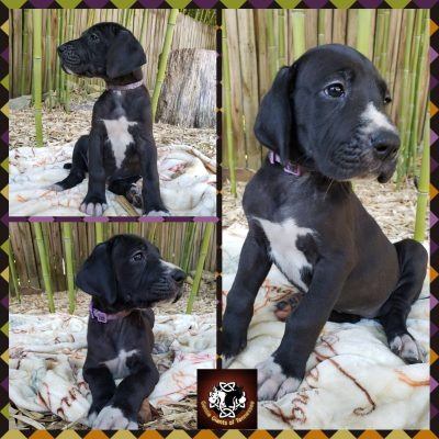 Purple Collar Female - AKC Great Dane pups in Cookeville, Tennessee for sale