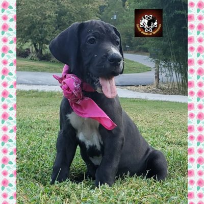 Pink Collar Female - AKC Great Dane puppies for sale in Cookeville, Tennessee