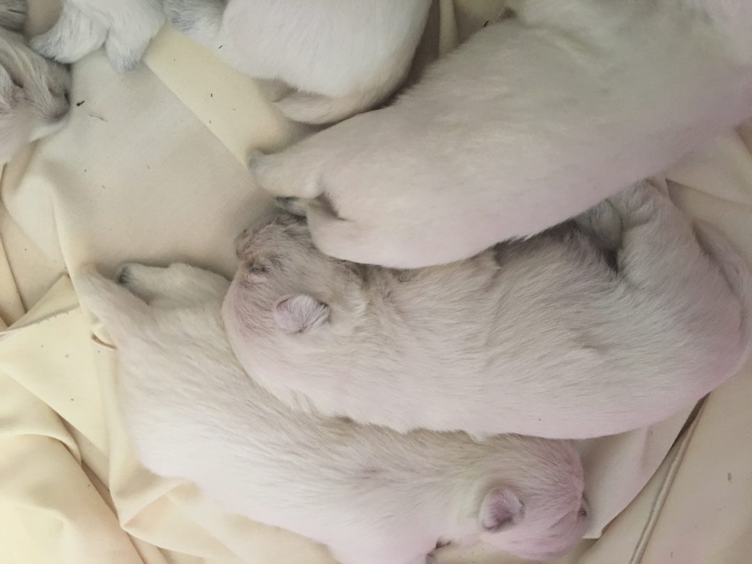Snow - West Highland White Terrier puppies in Loveland, Colorado for sale