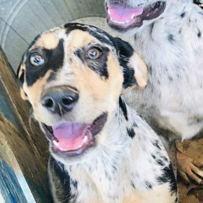 Sydney – Louisiana Catahoula Leopard puppies in Bethel Springs, Tennessee for sale