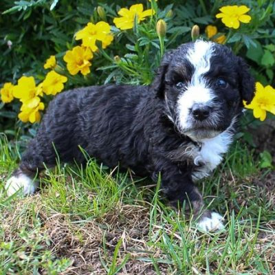 Rosy - Bernedoodle puppers in New Haven, Indiana for sale