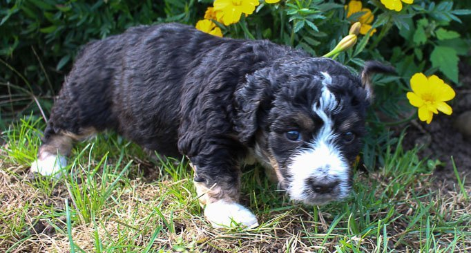 Oscar - Bernedoodle doggies for sale in New Haven, Indiana