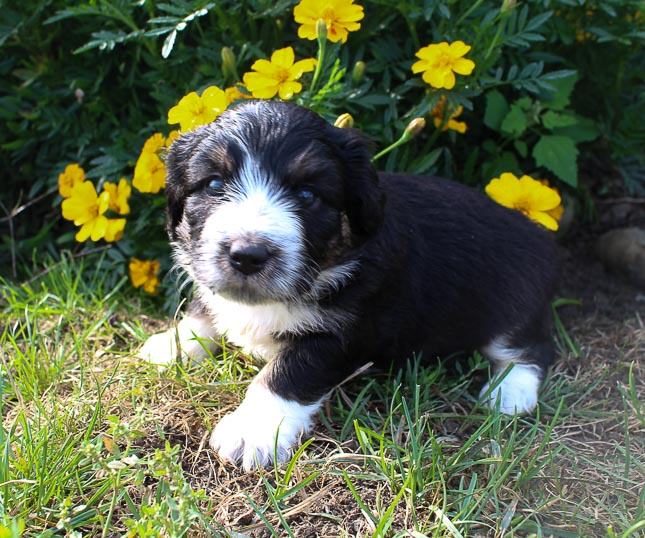 Annie - Bernedoodle puppers near Fort Wayne, Indiana for sale