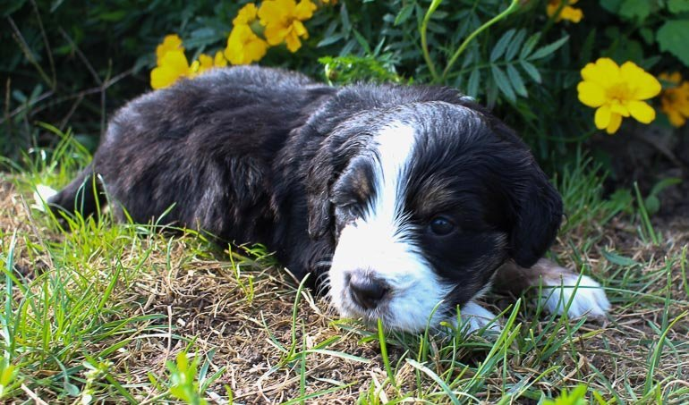 Olive - Bernedoodle puppies for sale near Fort Wayne, Indiana
