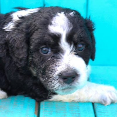 Molly - Indiana Bernedoodle puppies for sale