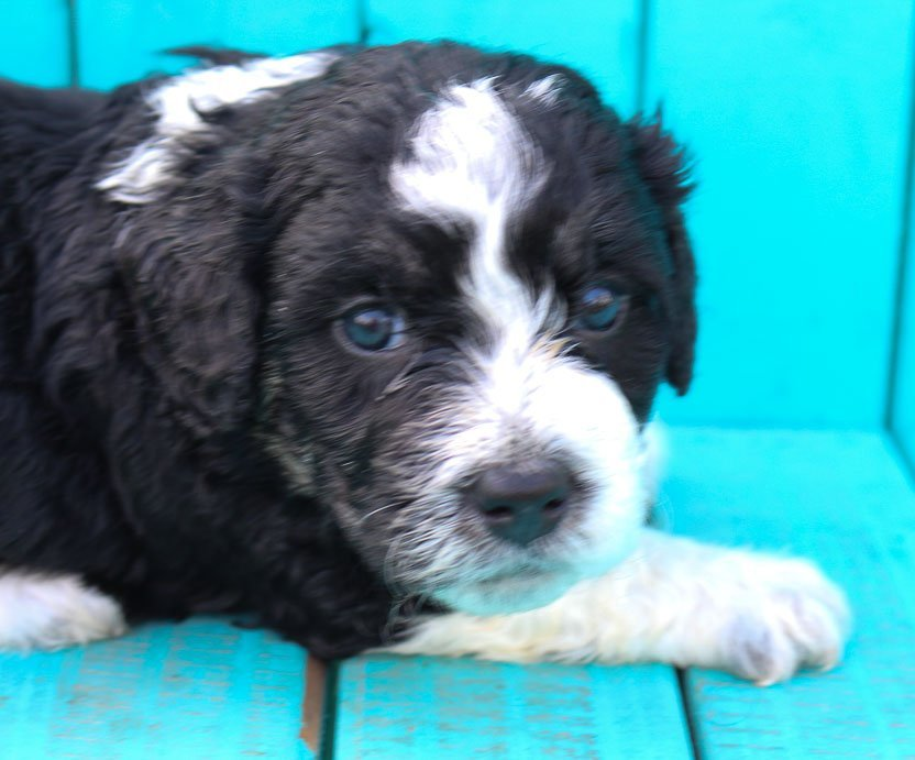 Molly - Indiana Mini Bernedoodle puppies for sale