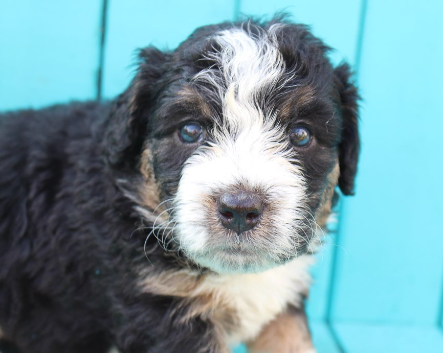 Shelby - Bernedoodle puppers near Fort Wayne, Indiana for sale