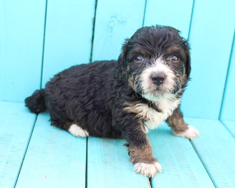 Bailey - Bernedoodle pup for sale in New Haven, Indiana
