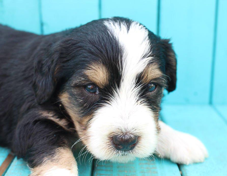 Buddy - Bernedoodle pups near Fort Wayne, Indiana for sale