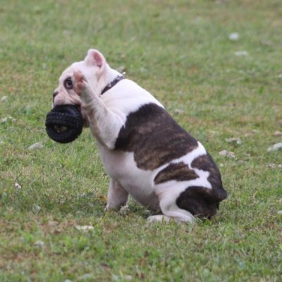 Tug - Shorty Bull puppy for sale in Marysville, Kansas