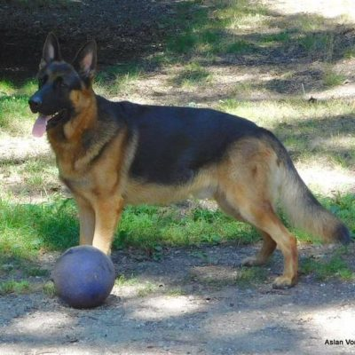 AKC OFA LIFETIME WARRANTY FEMALE - pup German Shepherds in Roscommon, Michigan for sale
