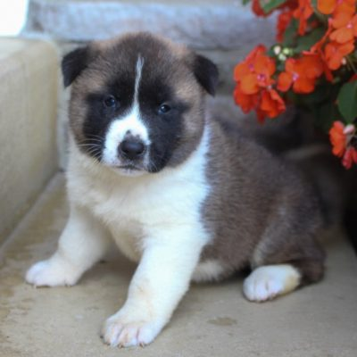 Awesome - Male AKC Akita puppy for sale near Fort Wayne, Indiana