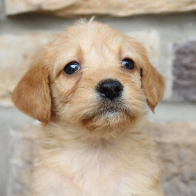 Larose - Labradoodle dogs in New Haven, Indiana for sale