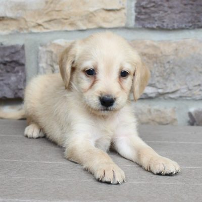 Landon - Labradoodle doggies for sale in New Haven, Indiana