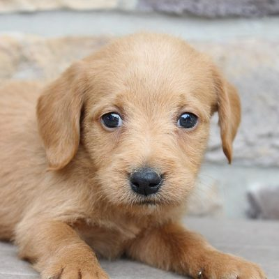 Lance - pupper Labradoodles for sale in New Haven, Indiana
