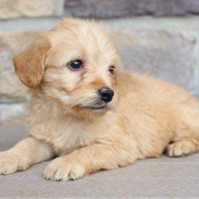 Logan - Labradoodles pups for sale near Fort Wayne Indiana