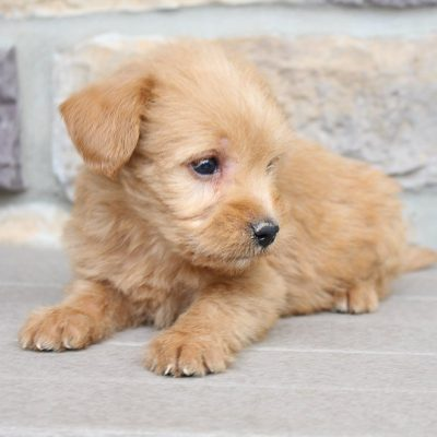 Lake –Mini Labradoodle puppies for sale in New Haven, Indiana
