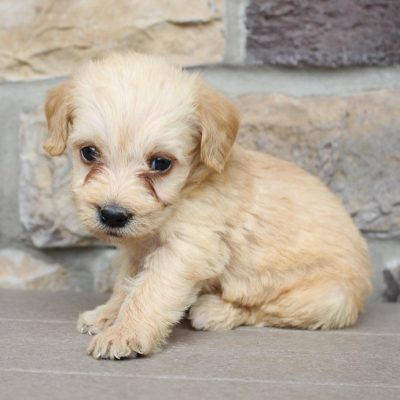 Loren - Mini Labradoodle puppies near me for sale (New Haven, Indiana)