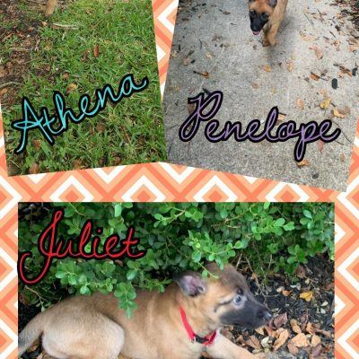 Belgian Malinois puppies near Houston, Texas for sale
