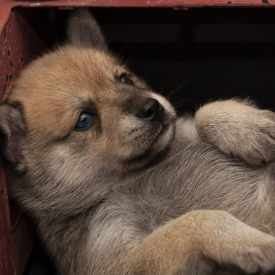 Balu - Pomsky puppies for sale in Los Angeles, California