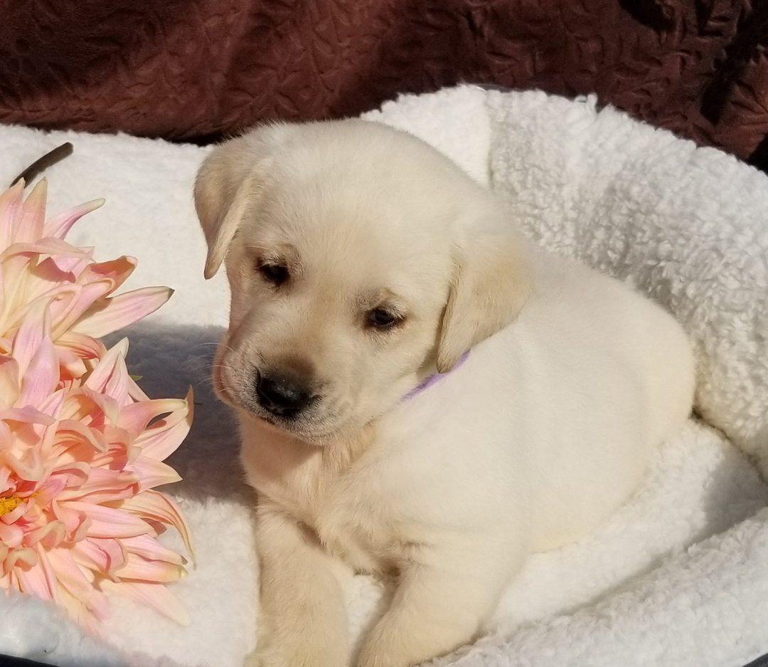 Aspen - female Labrador Retriever pupper in Harrison, Arkansas for sale