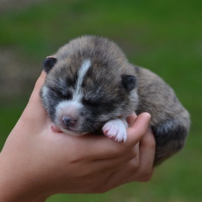 Kaiyo - Japanese Akita puppies for sale in Sioux Falls, South Dakota