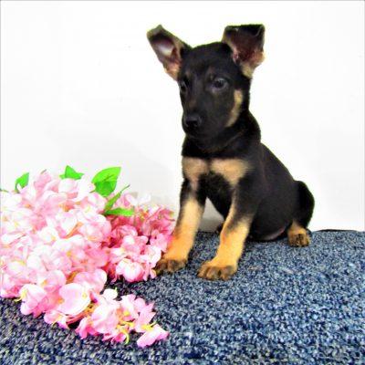 Sally - female German Shepherd puppies near Fort Wayne, Indiana for sale