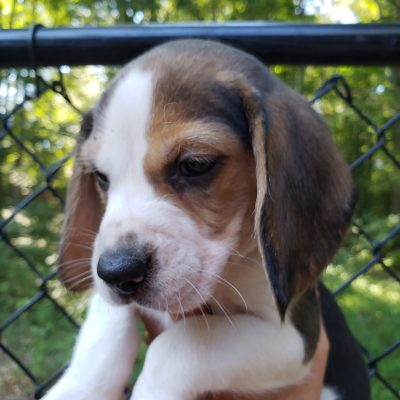AKC Champion Lines Green Collar Male - Beagle puppies for sale in Knoxville, Tennessee