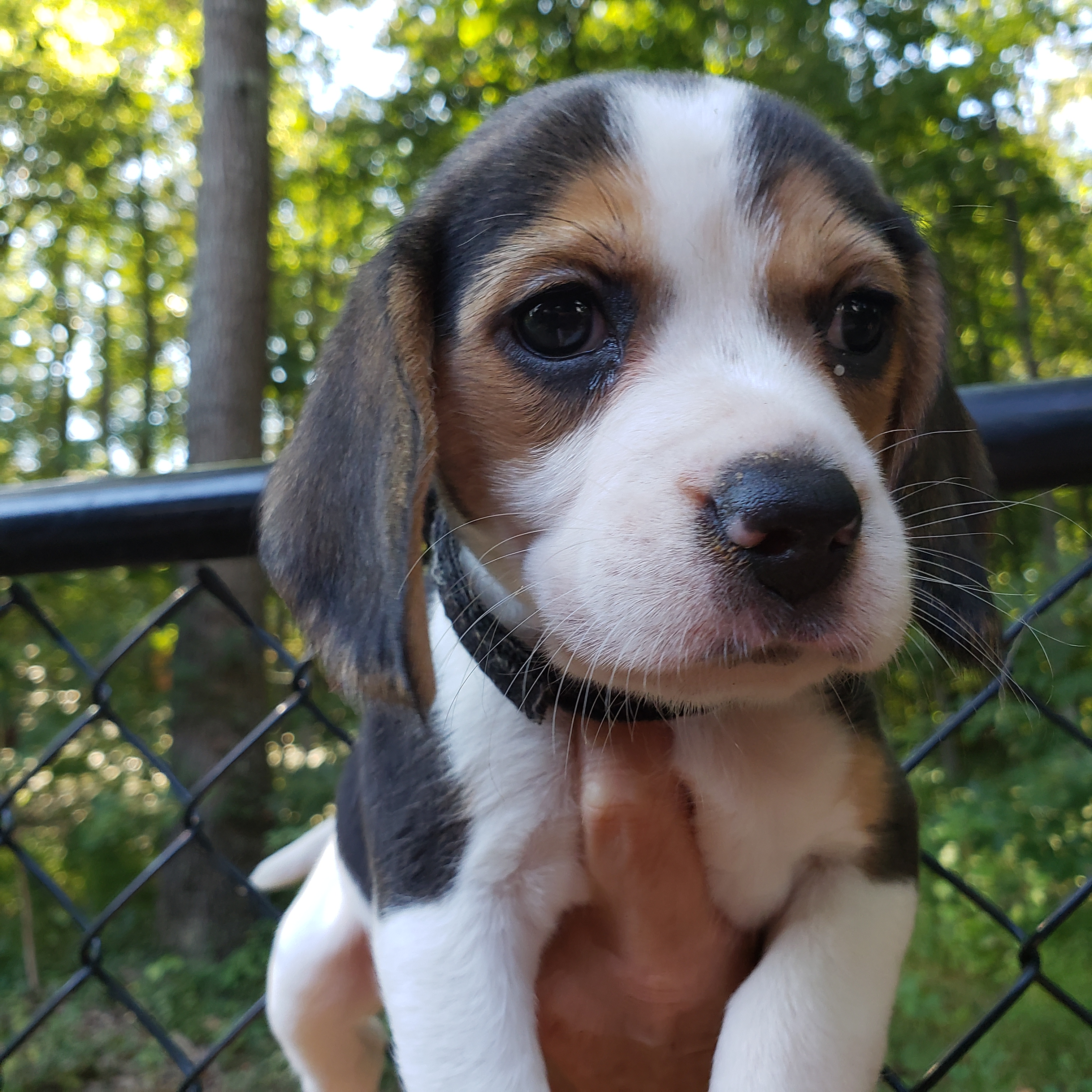 AKC Champion Lines Black Collar Female - AKC Tri-colored Beagle Puppy in  Knoxville, Tennessee | VIP Puppies