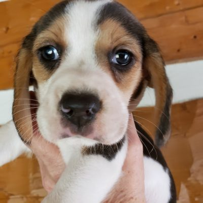 AKC Champion Lines Black Collar Female - AKC Tri-colored Beagle Puppy in Knoxville, Tennessee
