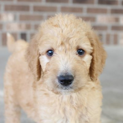 Morgan - male pupper Labradoodles for sale near Fort Wayne, Indiana
