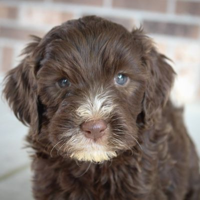 Mason - male Labradoodle puppy for sale in Woodburn, Indiana