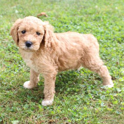 Macy - Labradoodle puppies for sale near me (Woodburn, Indiana)