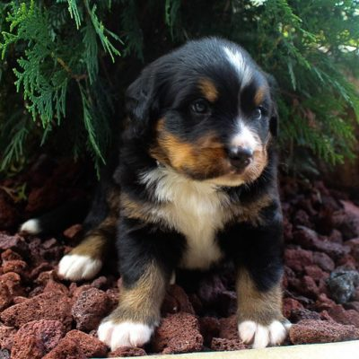 Bobby - Bernese Mountain Dogs in Spencerville, Indiana for sale