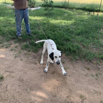 Magic Man - pupper Dalmatian X for sale in Colcord, Oklahoma
