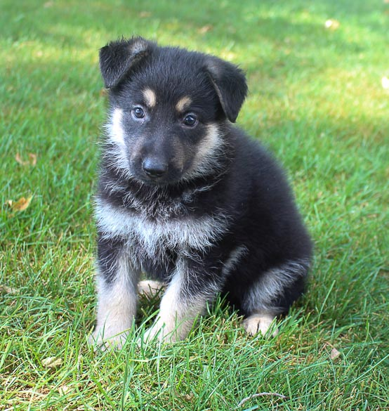 Brianna - female puppy German Shepherds for sale in New Haven, Indiana