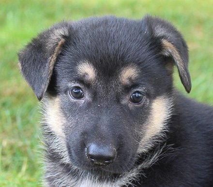 Bella - AKC German Shepherd puppers in New Haven, Indiana for sale