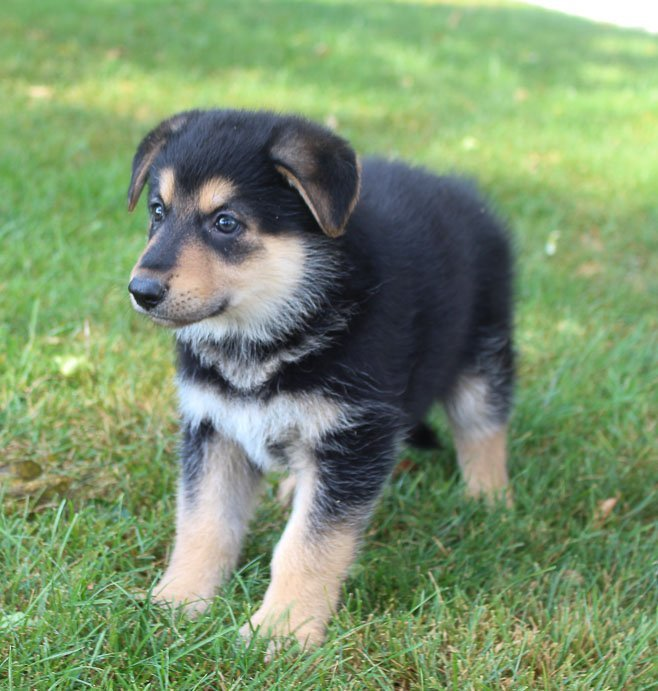 Brittney - AKC German Shepherd puppies for sale near Fort Wayne, Indiana