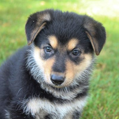 Brittney - AKC German Shepherd puppies for sale near Fort Wayne, Indiana