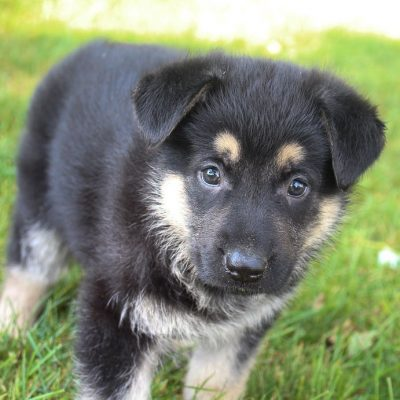 Brooke - German Shepherd pupper for sale in New Haven, Indiana