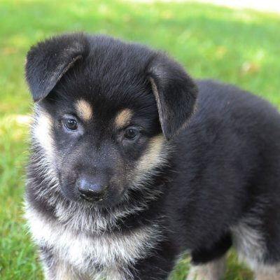 Angel - Female AKC German Shepherd dogs near Fort Wayne, Indiana for sale