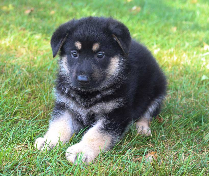 Abby – AKC puppy German Shepherd for sale in New Haven, Indiana