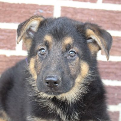 Mark - puppy German Shepherds for sale near Fort Wayne, Indiana