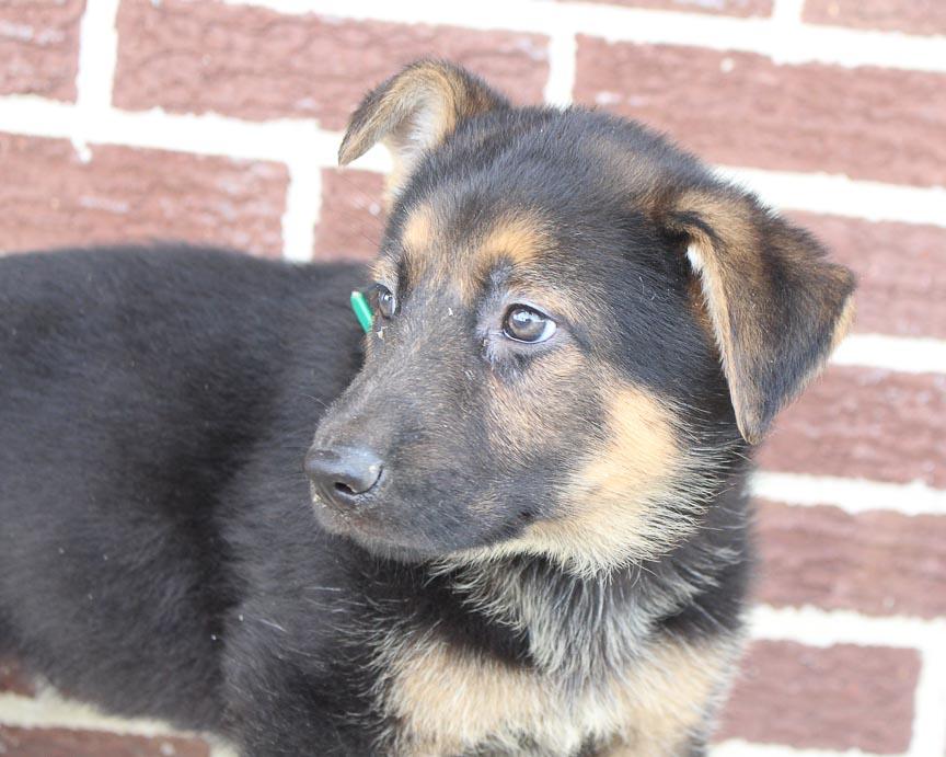 Ben - German Shepherd puppy for sale in Grabill, Indiana
