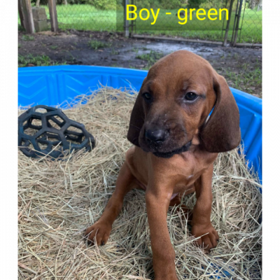 Boy - green: puppy Redbone Coonhounds for sale in Astor, Florida