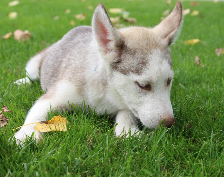 Jade - a female AKC Siberian Husky pupper for sale in Indiana