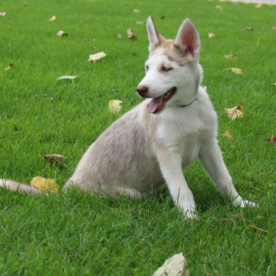 Jamie - a female AKC Siberian Husky for sale in Grabill, IN
