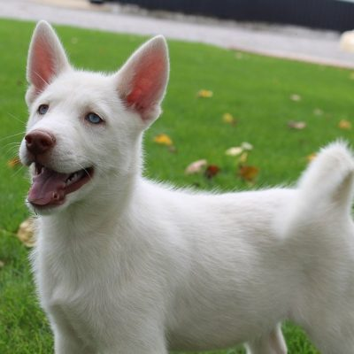 Jaylon - a male AKC Siberian Husky for sale in Grabill, Indiana