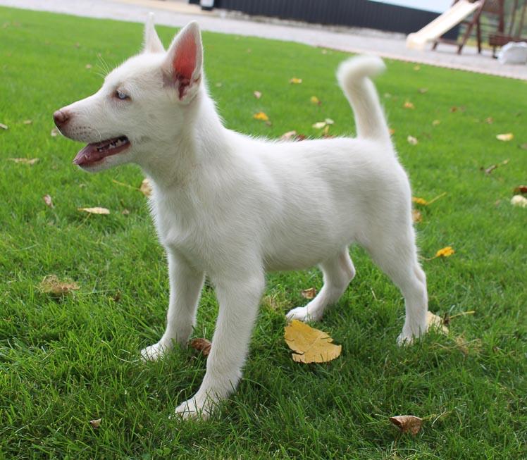 Jaylon - a male AKC Siberian Husky for sale in Grabill, Indiana