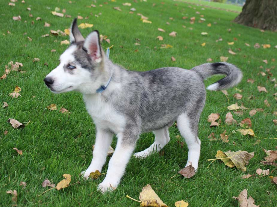 Jaden - a male AKC Siberian Husky pupper for sale in Indiana